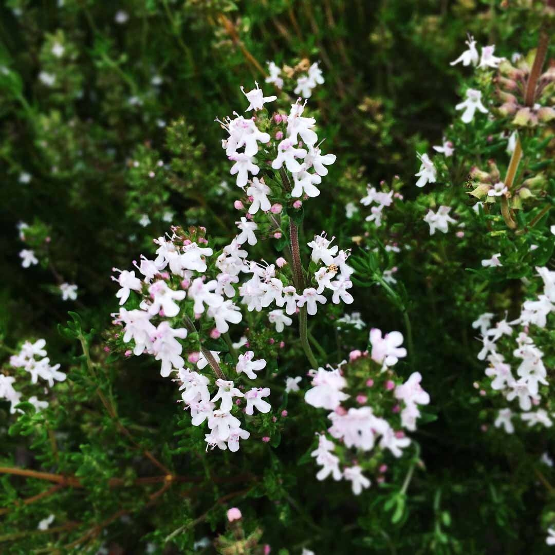 thyme flower