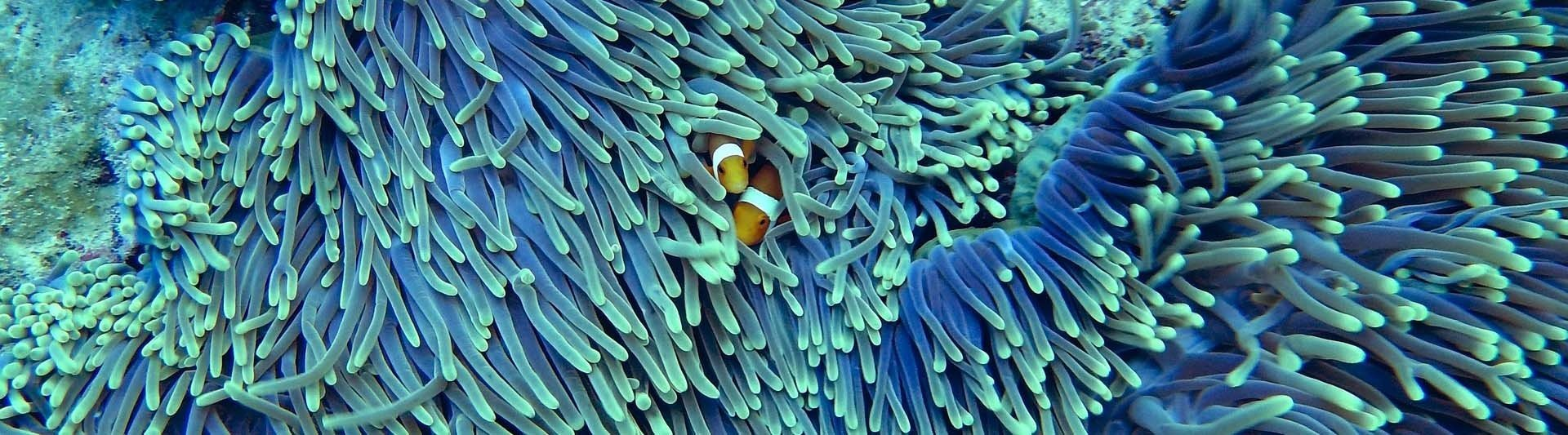 coral and clown fish